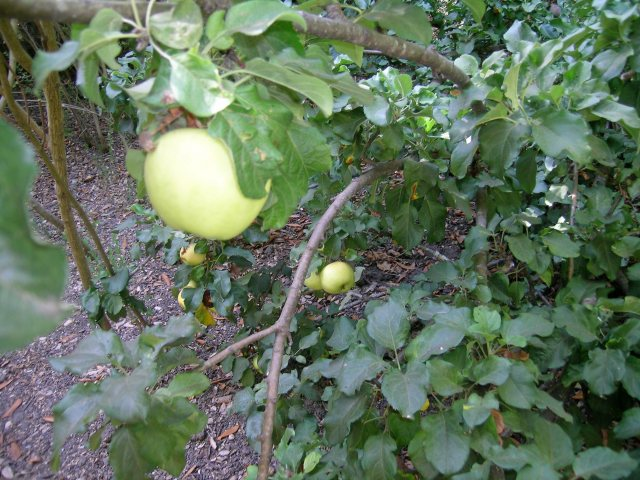 bellflowerapple