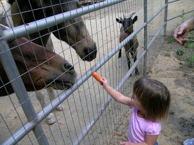 feeding carrots