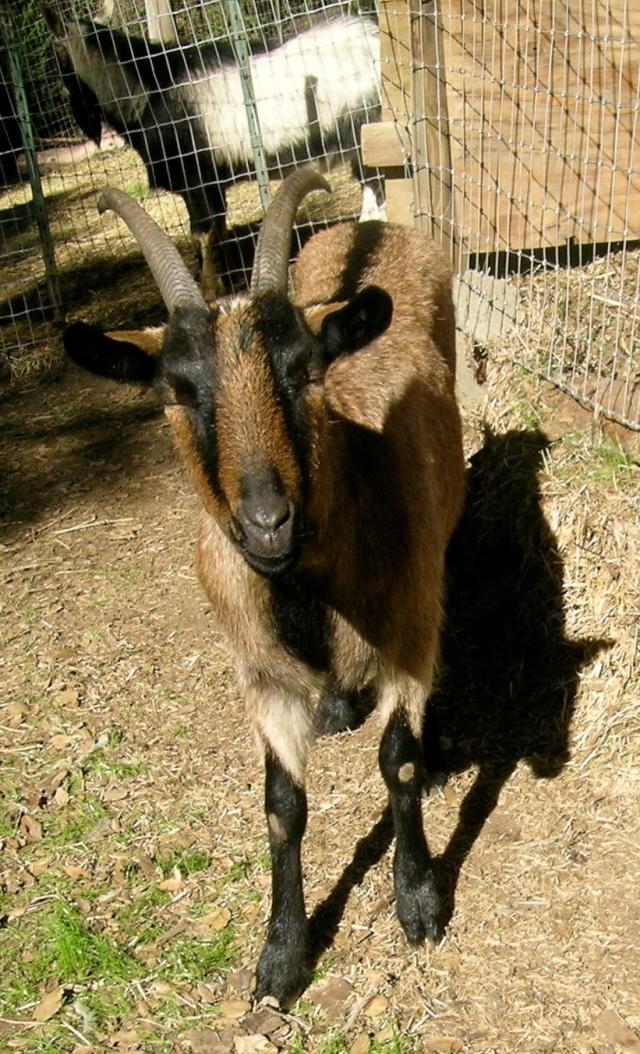 Goat Farm 2:11