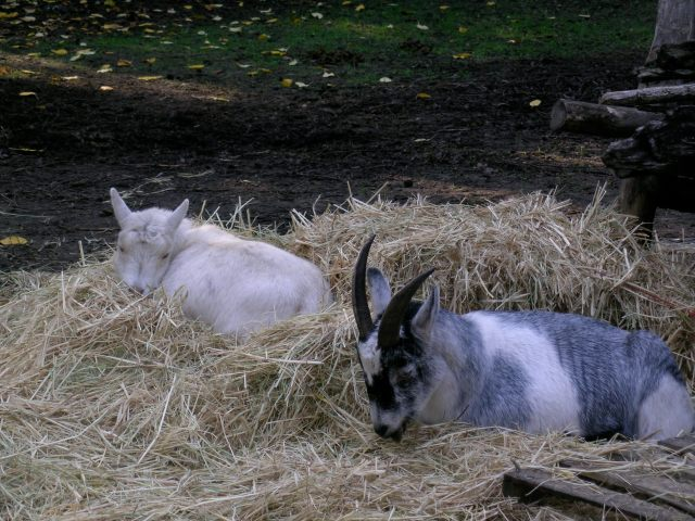 sleeping in hay 12:08