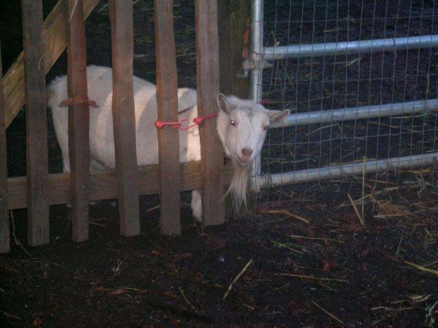 Theodora Goat - lovecreekfarm
