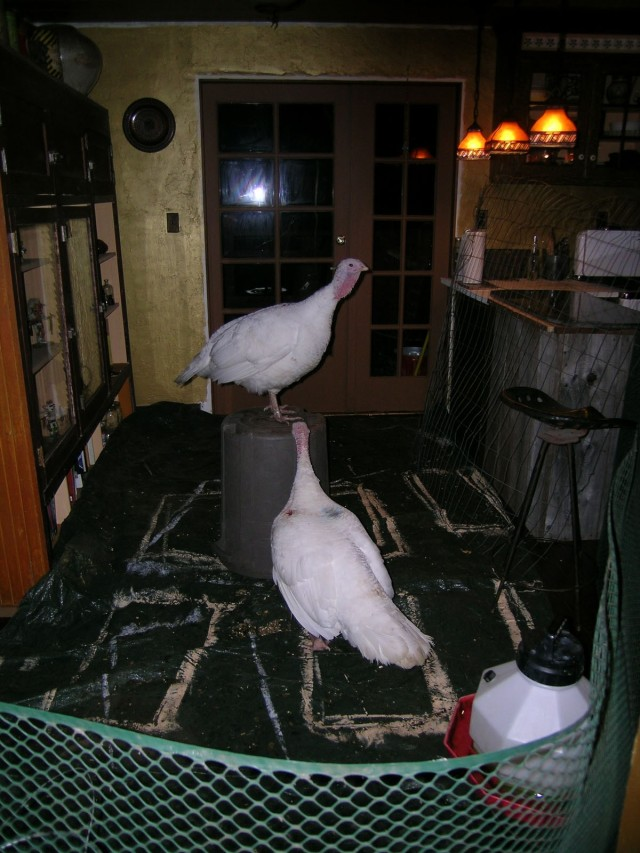 Turkeys new home in the kitchen during Ariala's recovery.