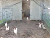 Leghorns at the shelter