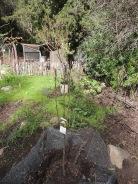 Barlett Pear, planted 2/16